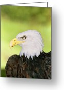 Ken Sjodin Greeting Cards - Eagle5 Greeting Card by Ken  Sjodin