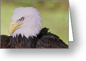 Ken Sjodin Greeting Cards - Eagle9 Greeting Card by Ken  Sjodin