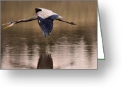 Heron Greeting Cards - Early Morning Fishing Heron - c8429e Greeting Card by Paul Lyndon Phillips