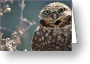 Burrowing Owl Greeting Cards - Earnest Owl Greeting Card by Fraida Gutovich