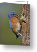 Feeding Greeting Cards - Eastern Bluebird Feeding Chick Greeting Card by Susan Candelario