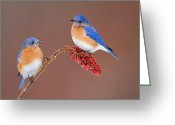 Animalia Greeting Cards - Eastern Bluebirds  Greeting Card by Jim Zipp and Photo Researchers