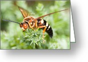 Cicada Greeting Cards - Eastern Cicada Killer Wasp Greeting Card by Clarence Holmes