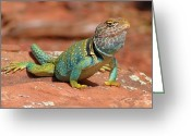 Lizard Greeting Cards - Eastern Collared Lizard Greeting Card by Laura Brightwood