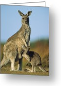 Contact Greeting Cards - Eastern Grey Kangaroo And Her Joey Greeting Card by Ingo Arndt