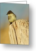 Business Decor Greeting Cards - Eastern Phoebe  Greeting Card by Robert Frederick