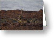 Morph Greeting Cards - Eastern Reef Egret-Dark Morph Greeting Card by Douglas Barnard