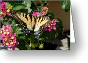 Long Beach Island Photos Greeting Cards - Eastern Tiger Swallowtail Butterfly Greeting Card by Joyce StJames