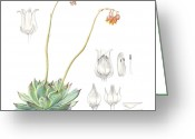 Floral Drawings Greeting Cards - Echeveria spp. Greeting Card by Logan Parsons