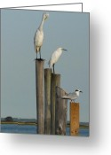 Spirit Hawk Art Greeting Cards - Egret 21 Greeting Card by Joyce StJames