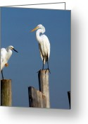 Great Egret Greeting Cards Greeting Cards - Egret 41 Greeting Card by Joyce StJames