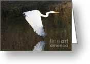 Great Egrets Greeting Cards - Egret Flying over the Pond Greeting Card by Carol Groenen