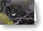 Great Egrets Greeting Cards - Egret in Liveoaks Greeting Card by Sally Mitchell