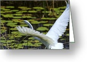Waterbird Greeting Cards - Egret Take Off Greeting Card by Roger Wedegis