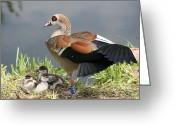 Birds Pyrography Greeting Cards - Egyptian Goose Stretching.. Greeting Card by Valia Bradshaw