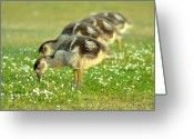 Goose Greeting Cards - Egyptian Goslings Greeting Card by Pallab Seth