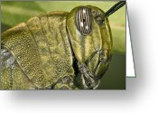 Green Grass Hopper Greeting Cards - Egyptian Grass Hopper Greeting Card by Paul Harcourt Davies