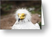 On-the-look-out Greeting Cards - Egyptian Vulture Greeting Card by Darcy Michaelchuk