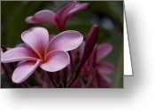 Beautiful Flowering Trees Greeting Cards - Eia kuu lei Aloha Kula - Pua Melia - Pink Tropical Plumeria Maui Hawaii Greeting Card by Sharon Mau