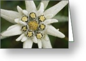 Refuges Greeting Cards - Eidelweiss Flower, Symbol Greeting Card by Norbert Rosing