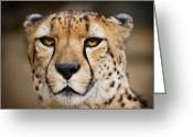 Acinonyx Greeting Cards - Elegant and Intense Greeting Card by Carl Jackson