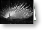 Albino Peacock Greeting Cards - Elegant in White Greeting Card by Margaret Bobb