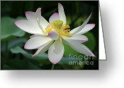 Lilies Greeting Cards - Elegant Lotus Greeting Card by Sabrina L Ryan