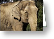 African Animals Greeting Cards - Elephant Greeting Card by Anthony Citro