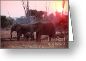 Zambia Greeting Cards - Elephant At Sunset Greeting Card by Gualtiero Boffi