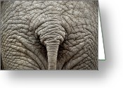 Body Part Greeting Cards - Elephant But Greeting Card by images by Luis Otavio Machado