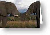 Caress Greeting Cards - Elephant Caress Botswana Greeting Card by David Kleinsasser