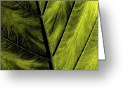 Lime Photo Greeting Cards - Elephant Ear Greeting Card by Bonnie Bruno