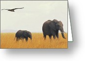 Three Animals Greeting Cards - Elephants In Grass Field With Flying Lappet Greeting Card by Joost Notten