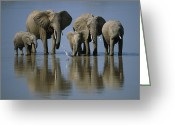Zambia Greeting Cards - Elephants Greeting Card by Jonathan and Angela Scott and Photo Researchers