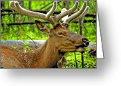 Usa Pyrography Greeting Cards - Elk In Velvet Greeting Card by Harry Lamb