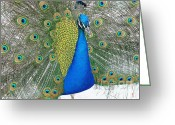 Peacock Greeting Cards - Emblem Of Love Greeting Card by Robert Hooper