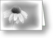 Flower Blossom Greeting Cards - Embossed Corn Flower BW Greeting Card by Linda Phelps