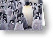 Standing Out From The Crowd Greeting Cards - Emperor Penguin (aptenodytes Forsteri) In Center Of Group Of Chicks Greeting Card by Joseph Van Os