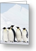 Animal Themes Greeting Cards - Emperor Penguins And Icebergs, Weddell Sea Greeting Card by Joseph Van Os