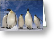 Martha Greeting Cards - Emperor Penguins Antarctica Greeting Card by Tui De Roy