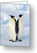Two Animals Greeting Cards - Emperor Penguins, Weddell Sea Greeting Card by Joseph Van Os