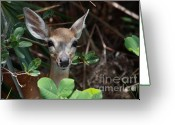 Florida Key Deer Greeting Cards - Endangered Key Deer Greeting Card by D R Moore