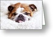 Head Greeting Cards - English Bulldog Sleeping In Fluffy White Blanket Greeting Card by Hanneke Vollbehr
