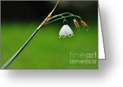White And Green Greeting Cards - English Snowdrop Greeting Card by Kaye Menner