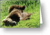 American Brown Bear Greeting Cards - Enjoying The Sun Greeting Card by Dora Miller