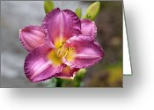 Stamen Greeting Cards - Entrapment (hemerocallis) Greeting Card by Anna Yu