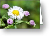 Bloomer Greeting Cards - Erigeron Philadelphicus Greeting Card by Kristin Elmquist