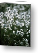 Hare Greeting Cards - Eriophorum Vaginatum Seed Heads Greeting Card by Bob Gibbons