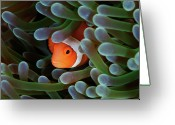 Clown Fish Greeting Cards - Eternal Theme Greeting Card by Nature, underwater and art photos. www.Narchuk.com
