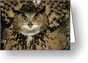 Owl Photography Greeting Cards - Eurasian Eagle-owl Bubo Bubo Close Greeting Card by Dietmar Nill